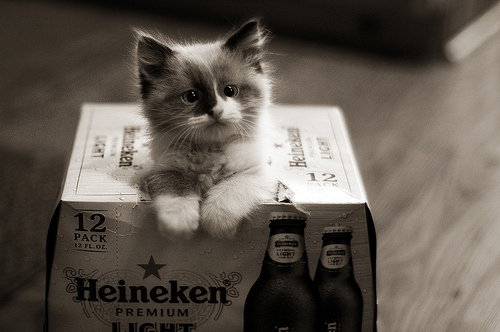 beautiful_beer_cat_cute_heineken_kitten_favim_com__by_saulemori-d8n8y2m